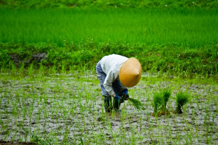 手作業による田植え