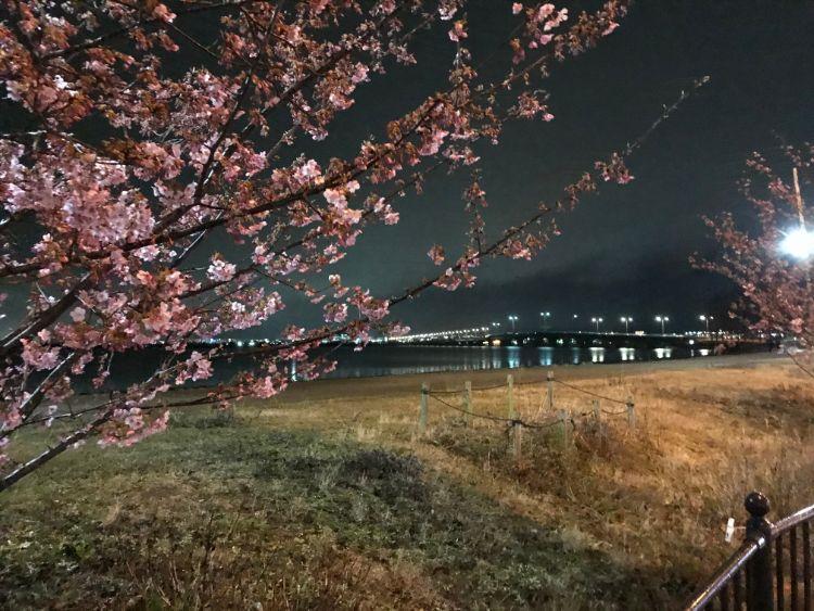 近江大橋と河津桜
